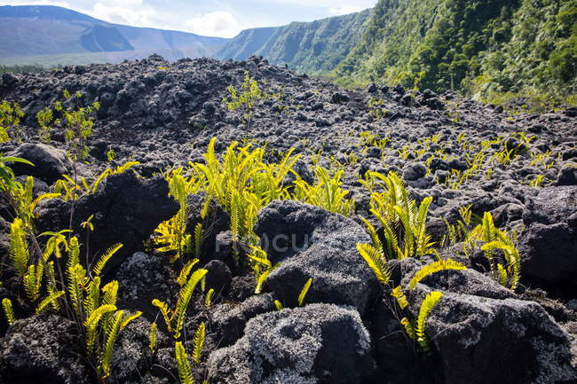 Volcanic landscape with black rocks and ferns, Reunion Island — Stock Photo
