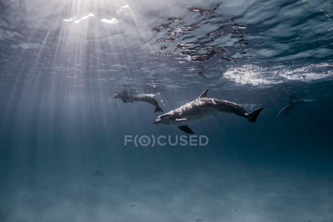 Atlantischer Tüpfeldelfin schwimmt unter Wasser — Stockfoto