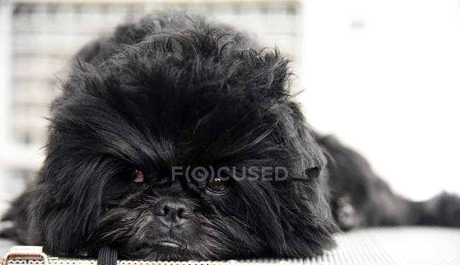 Affenpinscher мавпа-тер'єр собака лежить на підлозі — стокове фото