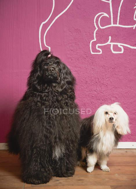 Deux chiens domestiques à côté mur rose — Photo de stock