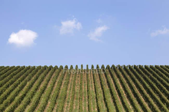 Scenic view of Vineyards in Langhe, Piedmont, Italy — Stock Photo