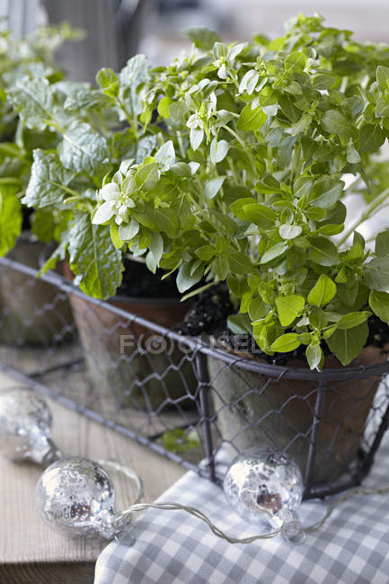 Close-up view of pots of fresh herbs — Stock Photo
