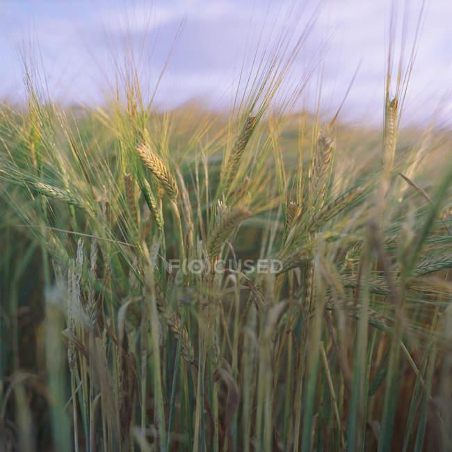 Nahaufnahme von Weizenfeld mit Himmel am Horizont — Stockfoto