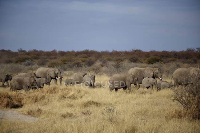 Стадо слонов взрослых и несовершеннолетних, ходить в засушливые равнины, Намибии, Африка — стоковое фото