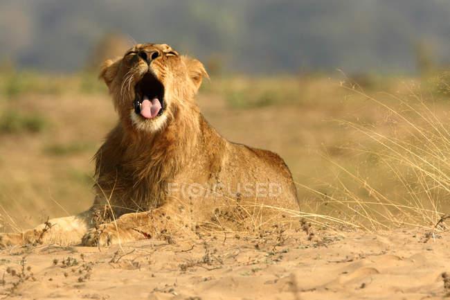 Leone minore sdraiato a terra con la bocca aperta, Parco nazionale delle piscine di Mana, Zimbabwe — Foto stock