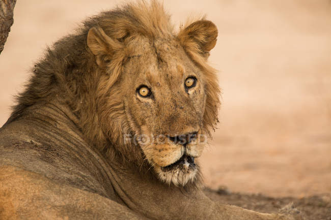 Portrait de l'homme Lion ou Panthera Leo regardant la caméra, Parc National de Mana Pools, Zimbabwe — Photo de stock