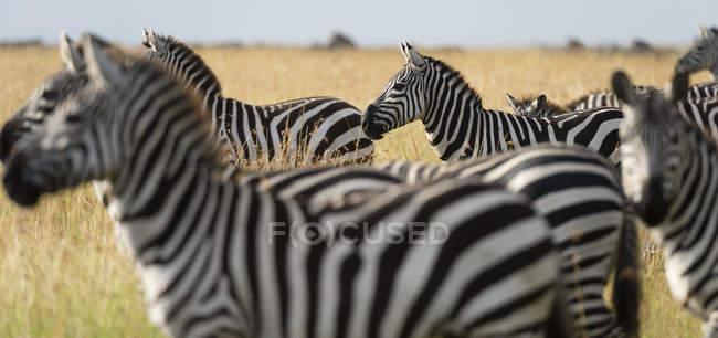 Рівнини зебр або кінь quagga в дикій природі, Масаї Мара, Кенія, Африці — стокове фото