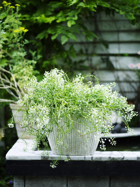 Garden plant with white flowers in white plant pot — Stock Photo