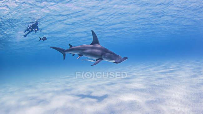 Grands requins de Hammerhead avec le plongeur à l'arrière-plan — Photo de stock
