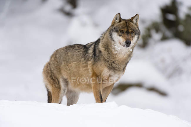 Loup gris, marche dans le parc national de la forêt bavaroise — Photo de stock