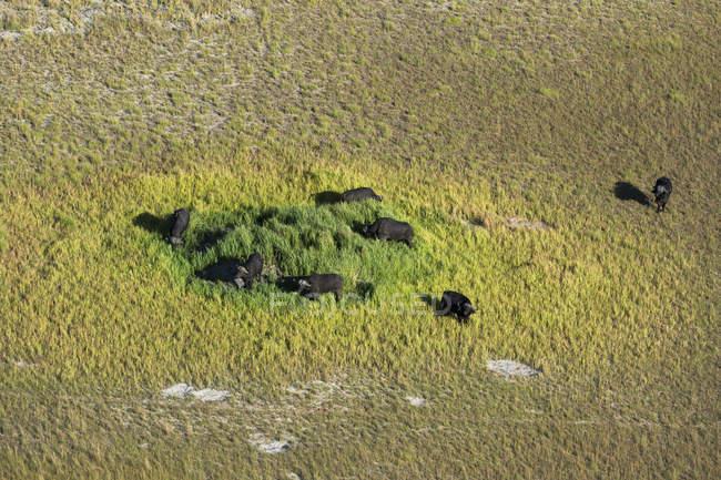 Вид с воздуха на африканских буйволов, пасущихся в дельте Окаванго, Ботсвана — стоковое фото