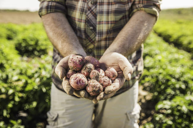Cropped image of man holding freshly harvested potatoes in hands — Stock Photo