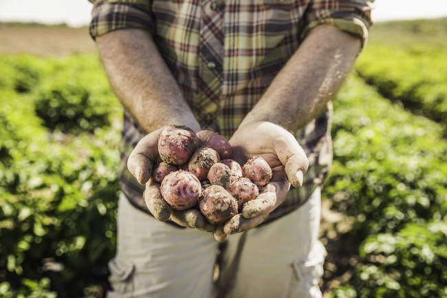 Geschnittenes Bild eines Mannes, der frisch geerntete Kartoffeln in Händen hält — Stockfoto