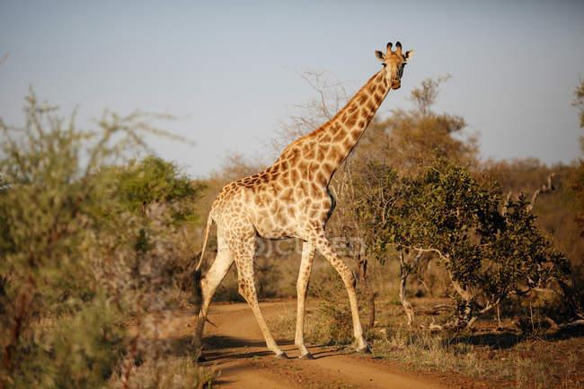 Girafa andando no Parque Nacional Kruger, na África do Sul — Fotografia de Stock