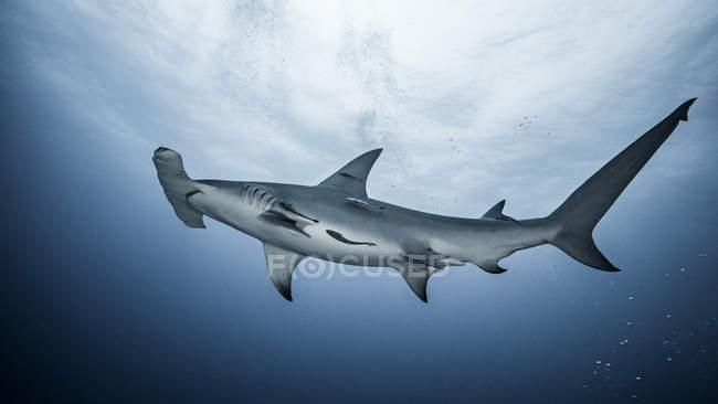 Grande piscine de requin sous l'eau — Photo de stock