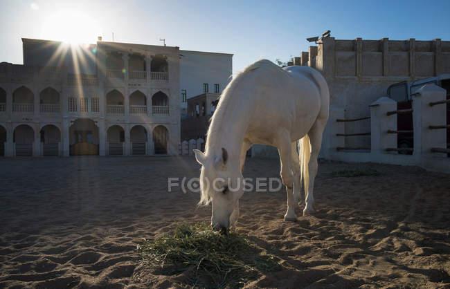 Cavalo árabe da polícia montada do Doha — Fotografia de Stock