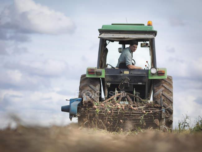 Farmer on tractor harvesting organic potatoes — Stock Photo