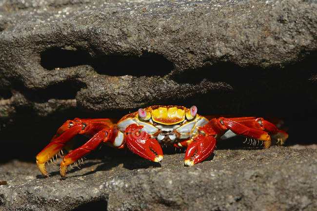 Sally lightfoot crabe, aux îles Galapagos, Equateur — Photo de stock