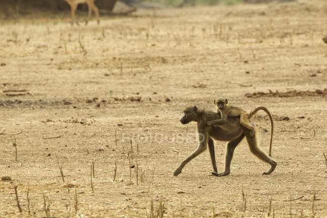 Baby baboon riding on parent back, Mana Pools, Zimbabwe, Africa — Stock Photo