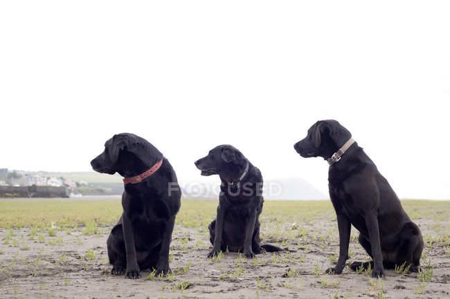 Três preto labradores olhando para longe ao ar livre — Fotografia de Stock