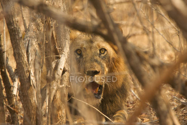 Lion mâle ou Panthera leo se cachent dans la brousse, Parc National de Mana Pools, Zimbabwe — Photo de stock