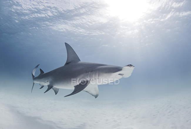 Grande piscine de requin marteau près de surface de l'océan — Photo de stock