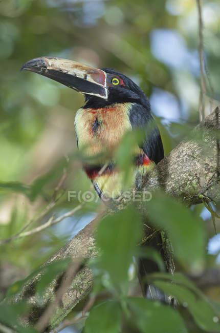 Вогненно-виставлений рахунок aracari сідати на дереві, Сарапікі, Коста-Ріка — стокове фото