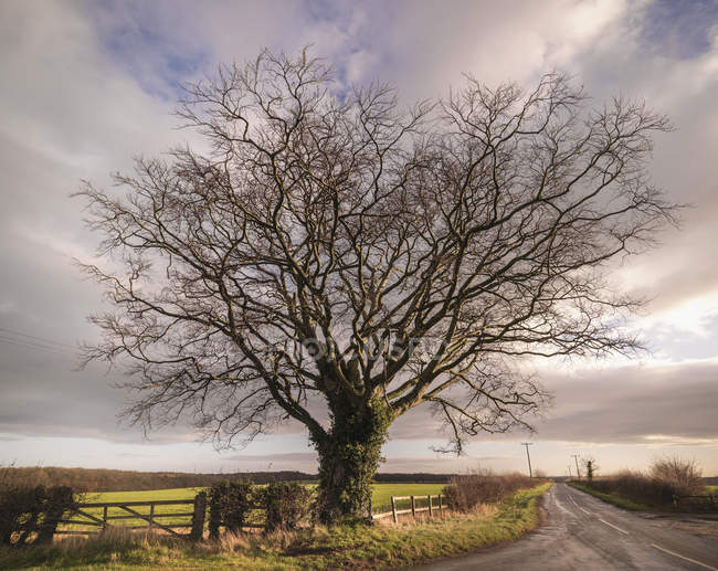 Large beech tree on roadside with cloudy sky — Stock Photo