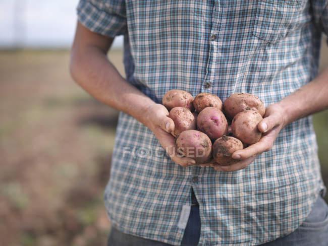 Farmer holding crop of organic potatoes, close up — Stock Photo