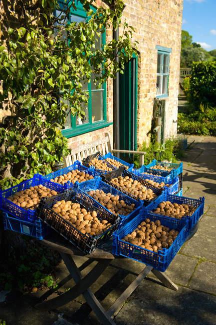Ящики видобуваються волоські горіхи на фермі стійло — стокове фото