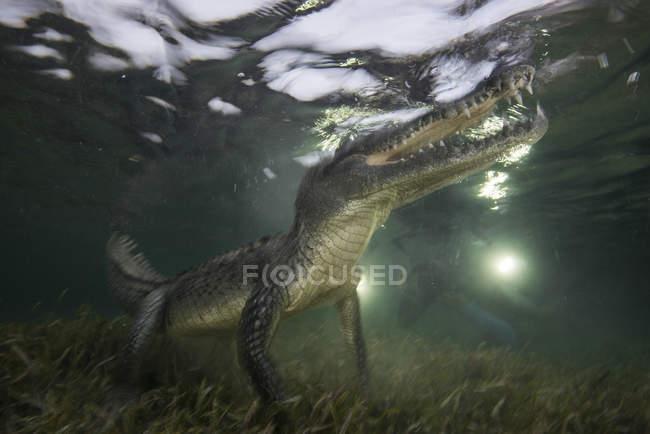Amerikanisches Krokodil schwimmt in den Untiefen des Chinchorro Atolls, Mexiko — Stockfoto