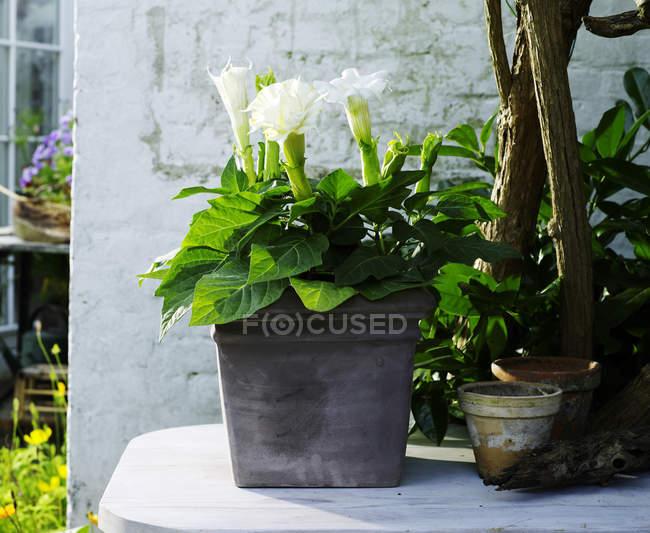 Lys arum fleuri blanc dans le pot de plantes de jardin — Photo de stock