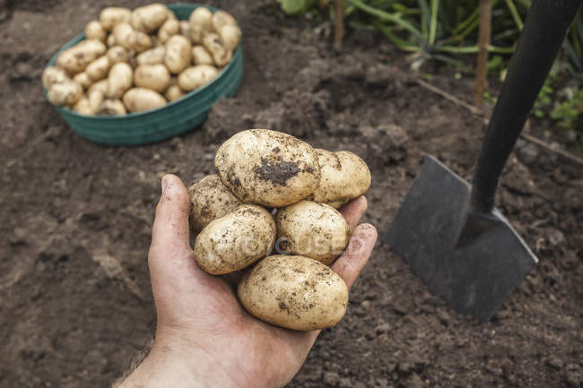 Cropped image of man holding potatoes harvested from garden — Stock Photo