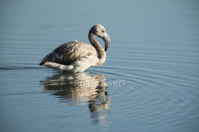 Flamant rose Juvenile dans l'eau — Photo de stock