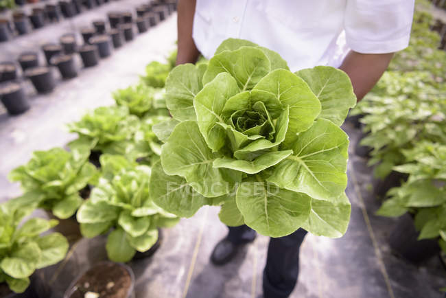 Cropped image of african american Worker holding romaine lettuce in Hydroponic farm in Nevis, West Indies — Stock Photo