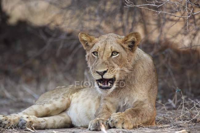 Lion ou Panthera leo à Mana Pools, Zimbabwe, Afrique — Photo de stock