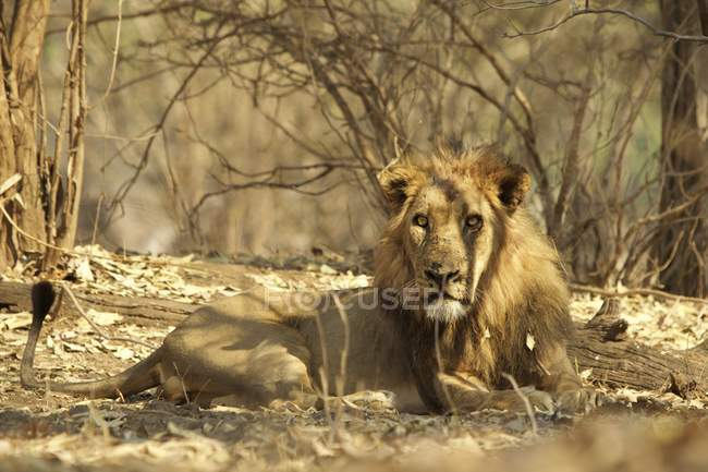 Lion ou Panthera leo au repos, de Mana Pools, Zimbabwe, Afrique. — Photo de stock