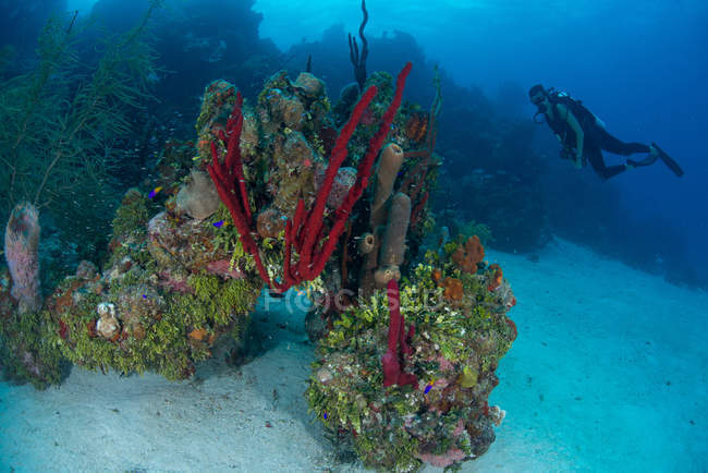 Scuba diver exploring pristine coral heads composed of sponges, hard and soft corals, Chinchorro Banks, Quintana Roo, Mexico — Stock Photo
