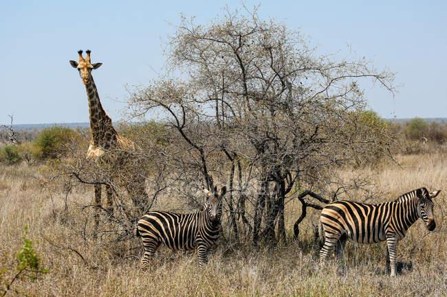 Вид жирафа та зебр в Національний парк Крюгера, Південно-Африканська Республіка — стокове фото