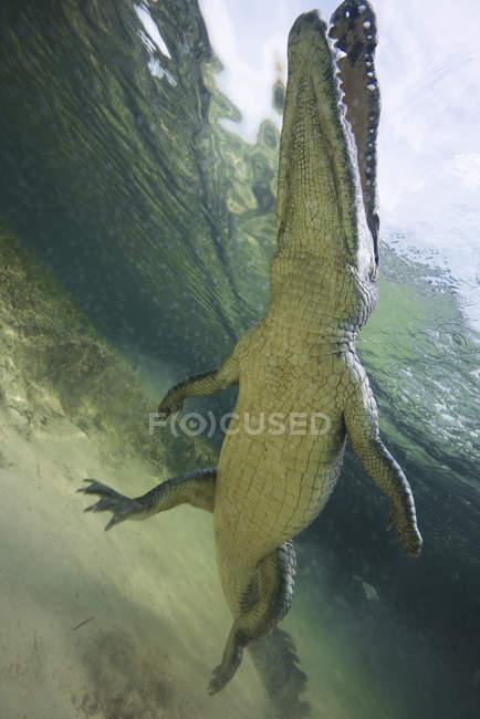 Niedrigen Winkel Blick auf amerikanisches Krokodil in den Untiefen von Chinchorro Atoll, Mexiko — Stockfoto