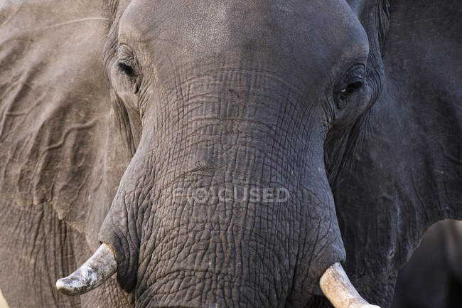 One big African elephant (Loxodonta africana), Khwai concession, Okavango delta, Botswana — Stock Photo