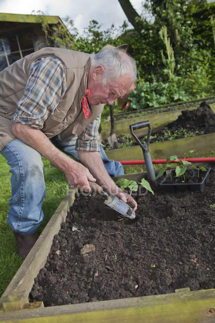 Senior man, planting seedlings in garden — Stock Photo
