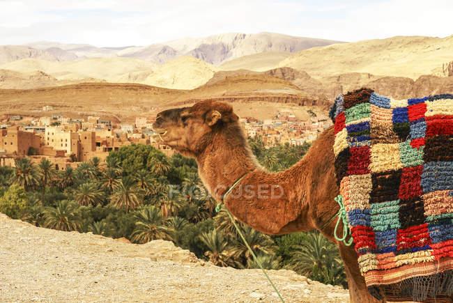 Kamel, Lehmhäuser im Hintergrund, Kasbah Ait Bujan, Todra Schlucht, Dades Tal, Marokko — Stockfoto