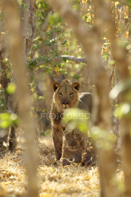 Lions ou Panthera leo à Mana Pools national park, Zimbabwe, Afrique — Photo de stock