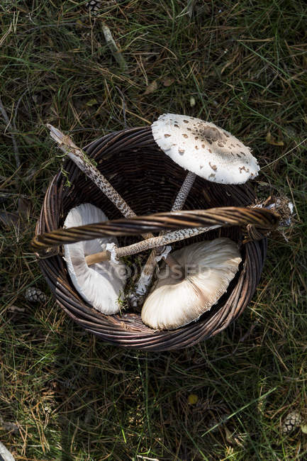 Basket of three foraged mushrooms on grass — Stock Photo