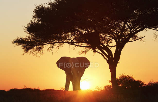 Silhouette d'éléphant au coucher du soleil, Parc National d'Etosha, Namibie — Photo de stock