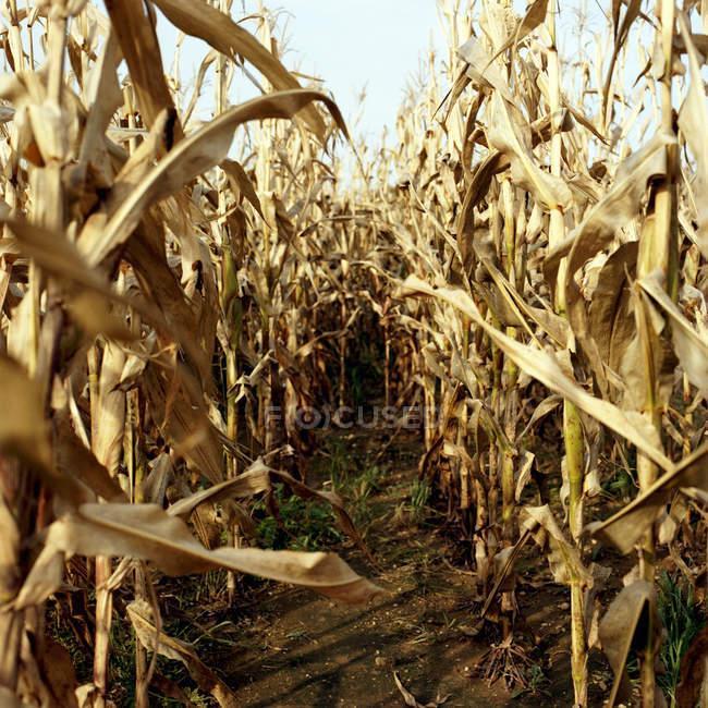 Pathway through dry corn field in sunlight — Stock Photo