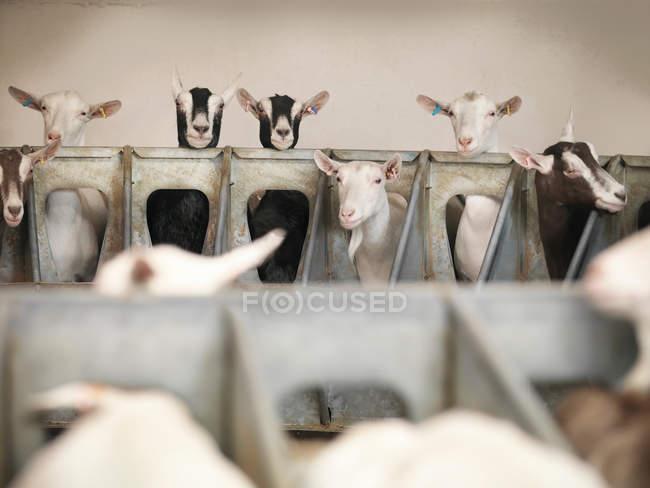 Goats examining milking station on farm — Stock Photo