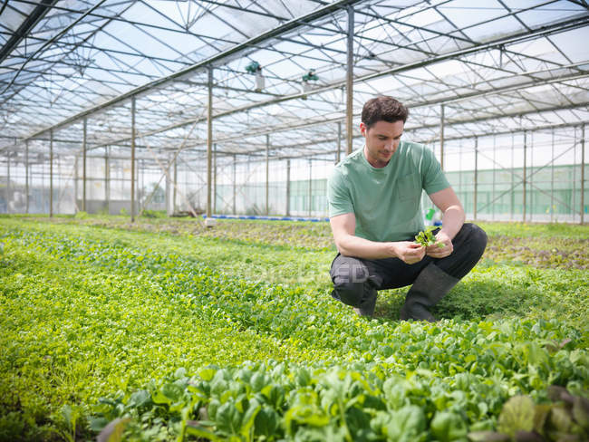 Worker in greenhouse crouching to inspect salad crops — Stock Photo
