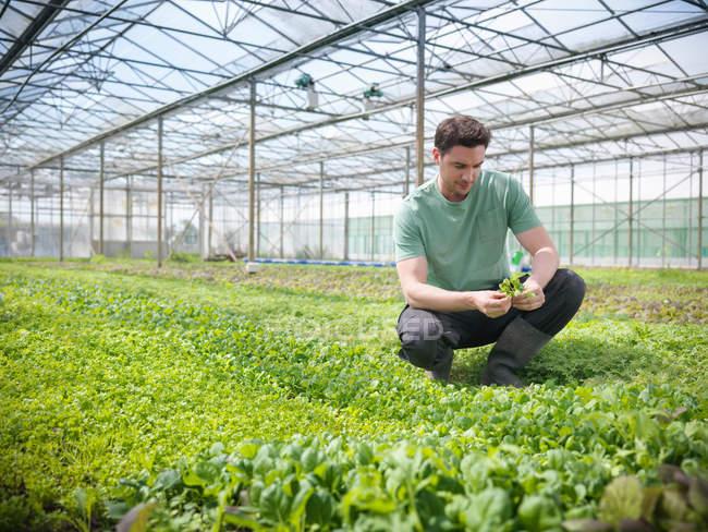 Arbeiter hockt im Gewächshaus, um Salatpflanzen zu inspizieren — Stockfoto
